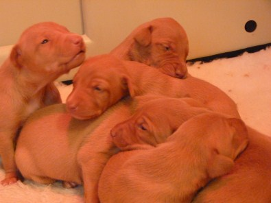 Pharaoh Hound Puppies at Anharbn